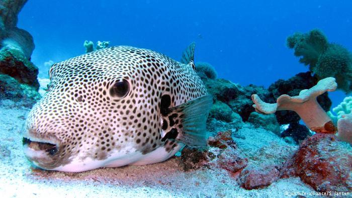 Tetraodontidae or pufferfish
