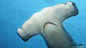 Winghead Shark