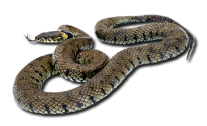 Snake Wars – Ararat Plain