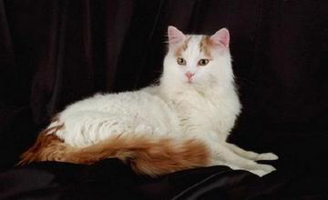 Van Cat, the White Knight of Lake Van