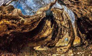 2000-Year-Old Plane Tree in Skhtorashen