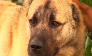 Gampr Dogs to Guard the Borders of Armenia