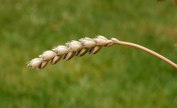 Wild Wheat in Armenia – Cereal Armenia