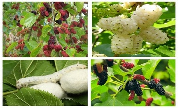 Armenian Mulberry – The Peacemaker Tree