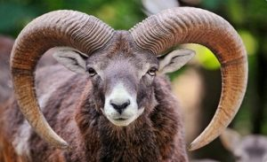 The Endangered Armenian Mouflon