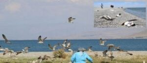 Mass Death Of Gulls Around Lake Van